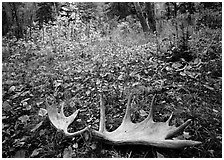 Fallen moose antlers in autumn forest. Isle Royale National Park ( black and white)
