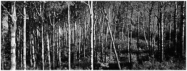 Birch north woods forest scene. Isle Royale National Park (Panoramic black and white)