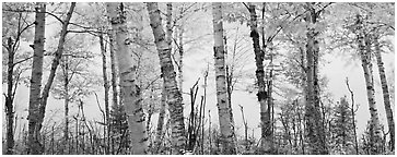Birch trees with yellow autumn leaves. Isle Royale National Park (Panoramic black and white)