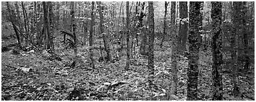 Deciduous forest in autumn. Isle Royale National Park (Panoramic black and white)