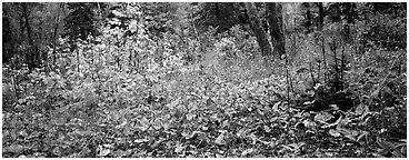 Forest floor in the fall. Isle Royale National Park (Panoramic black and white)
