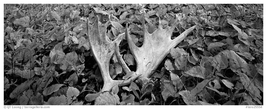 Fallen moose antlers and forest floor in autumn. Isle Royale National Park (black and white)