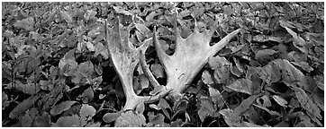 Fallen moose antlers and forest floor in autumn. Isle Royale National Park (Panoramic black and white)