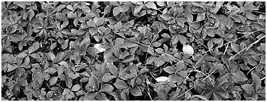 Close-up of berry leaves in autumn colors. Isle Royale National Park (Panoramic black and white)