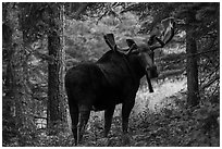 Bull moose in summer forest. Isle Royale National Park ( black and white)