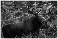 Large bull moose. Isle Royale National Park ( black and white)
