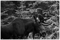 Bull moose. Isle Royale National Park ( black and white)