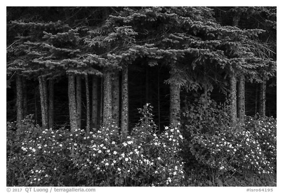 White blooms and dark forest. Isle Royale National Park (black and white)