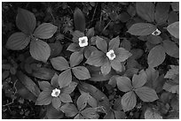 Forest undergrowth with white flowers, Passage Island. Isle Royale National Park ( black and white)