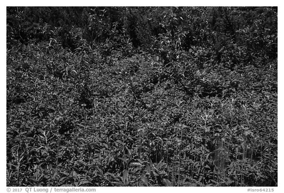 Dense summer vegetation, Passage Island. Isle Royale National Park (black and white)
