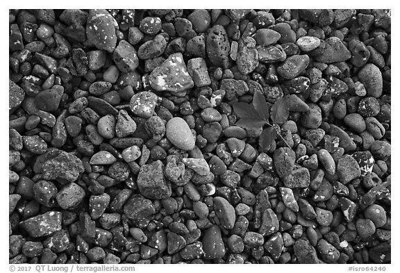 Fallen green leaf and beach stones, Tookers Island. Isle Royale National Park (black and white)
