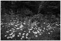 Daisies and forest, Mott Island. Isle Royale National Park ( black and white)