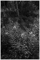 Backlit fireweed, Caribou Island. Isle Royale National Park ( black and white)