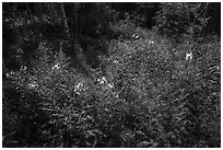 Fireweed and dense forest, Caribou Island. Isle Royale National Park ( black and white)