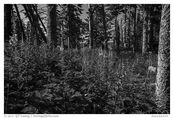 Dense forest vegetation in summer, Caribou Island. Isle Royale National Park (black and white)