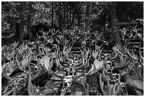 Collection of moose antlers and skulls. Isle Royale National Park ( black and white)