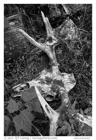 Moose skull with attached antlers on forest floor. Isle Royale National Park (black and white)