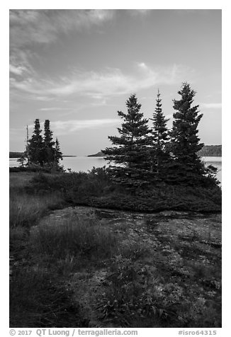 Yellow wildflowers, Moskey Basin, Rock Harbor in the distance. Isle Royale National Park (black and white)
