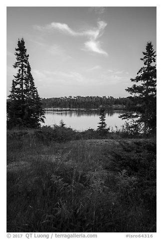 Yellow wildflowers, Moskey Basin. Isle Royale National Park (black and white)