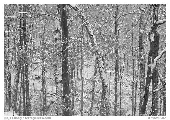 Trees in winter with snow and old leaves. Mammoth Cave National Park (black and white)