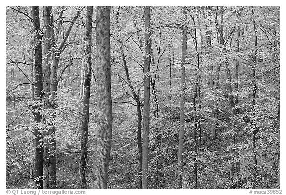 Deciduous trees with yellow leaves. Mammoth Cave National Park (black and white)