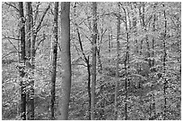 Deciduous trees with yellow leaves. Mammoth Cave National Park, Kentucky, USA. (black and white)