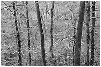 Forest in autumn color. Mammoth Cave National Park ( black and white)
