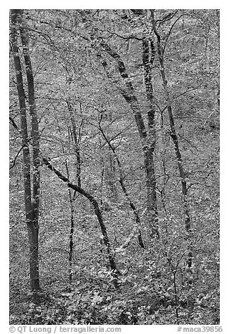 Trees with leaves in fall color. Mammoth Cave National Park (black and white)