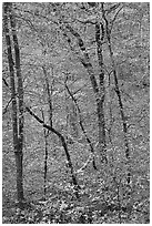 Trees with leaves in fall color. Mammoth Cave National Park, Kentucky, USA. (black and white)