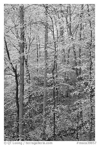 Trees with leaves turned yellow. Mammoth Cave National Park (black and white)