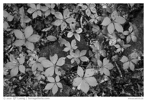 Close-up of moss-covered  rocks and undergrowth. Mammoth Cave National Park (black and white)