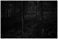Lights of Synchronous fireflies in forest. Mammoth Cave National Park ( black and white)