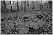 May apple plants with giant leaves on forest floor. Mammoth Cave National Park ( black and white)