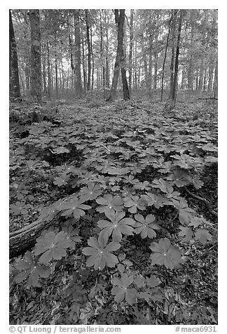 May apple Plants with giant leaves on forest floor. Mammoth Cave National Park (black and white)
