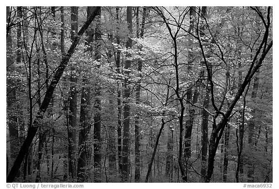 Blooming Dogwood trees in forest. Mammoth Cave National Park (black and white)