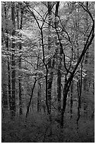 Blooming Dogwood trees in forest. Mammoth Cave National Park ( black and white)