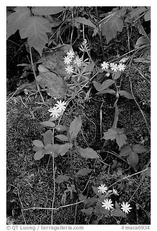 Flowers and Moss. Mammoth Cave National Park (black and white)