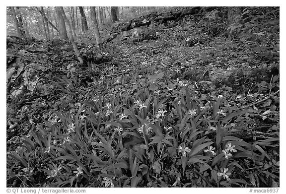 Crested dwarf irises. Mammoth Cave National Park (black and white)