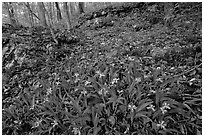 Crested dwarf irises. Mammoth Cave National Park, Kentucky, USA. (black and white)