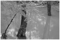 Flooded trees in Echo River Spring. Mammoth Cave National Park ( black and white)