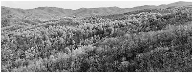 Hillside in early spring with some trees leafing out. Shenandoah National Park (Panoramic black and white)