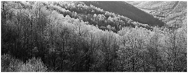 Trees with first spring leaves on hill. Shenandoah National Park (Panoramic black and white)