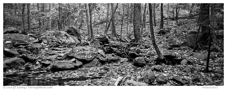 Forest scene with bright autumn leaves on the ground. Shenandoah National Park (black and white)