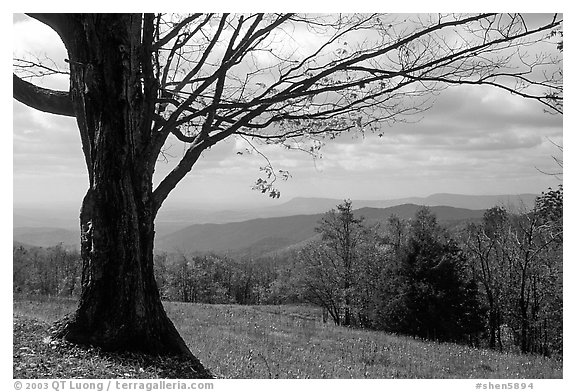 Big tree at Meadow overlook in fall. Shenandoah National Park (black and white)