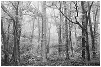 Forest in fog. Shenandoah National Park ( black and white)