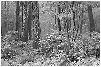 Blooms in foggy forest, Compton Gap. Shenandoah National Park ( black and white)