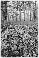 Wildflowers and foggy forest. Shenandoah National Park ( black and white)