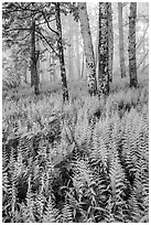 Ferns in forest with fog. Shenandoah National Park ( black and white)