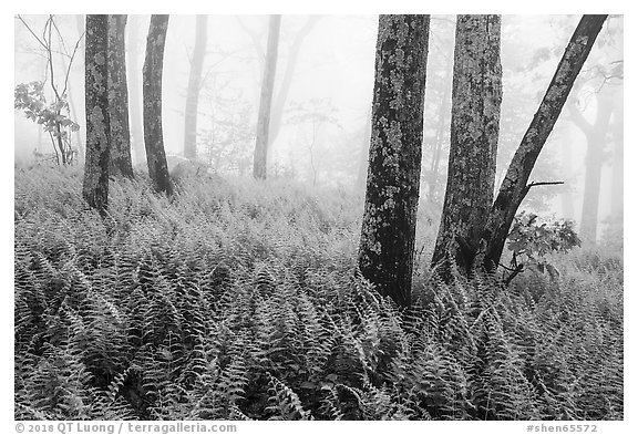 Ferns, lichen-covered trees, and fog. Shenandoah National Park (black and white)