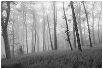 Visitor looking, misty forest. Shenandoah National Park ( black and white)